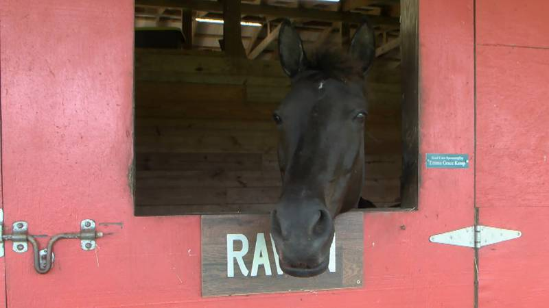 Raven is one of four horses at Worthy Stables needing a sponsor.