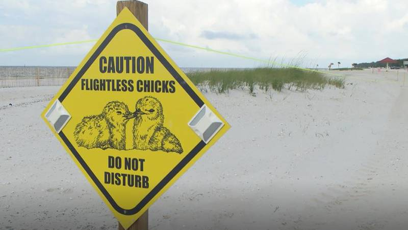 Last week, there were only a few least tern nests on the beach in Pass Christian. Now, there...