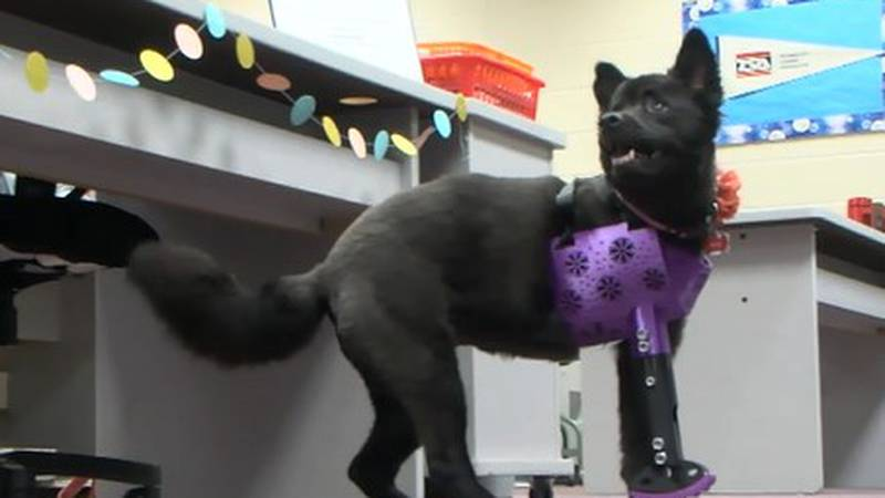 Bea has spent nearly all of her life walking on three legs. Now, thanks to Picayune High's...