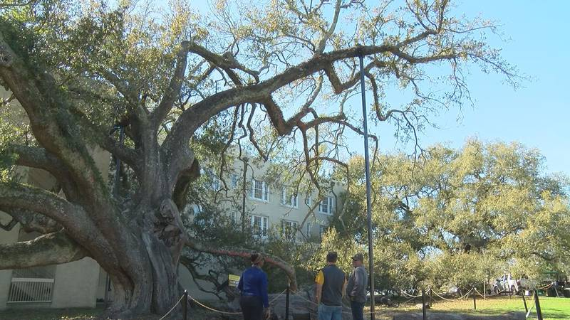 The Friendship Oak has stood for an estimated five centuries, and now two and a half years...