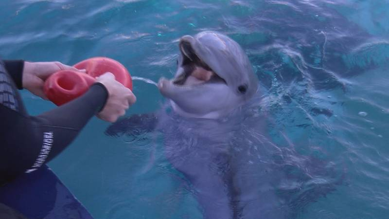 Four young dolphins are in their new habitat, being trained and getting ready for the next...