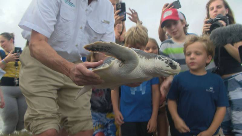 Six of the most endangered sea turtles in the world are now swimming in the Gulf of Mexico...