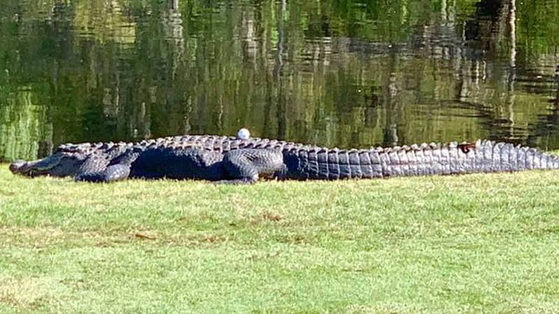 Golf ball lands on alligator at Spring Island Club in South Carolina.