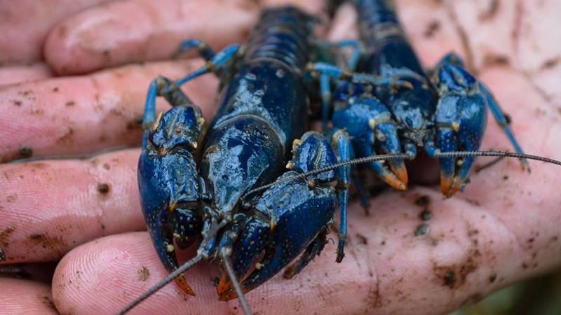 Blue crayfish found in Ohio