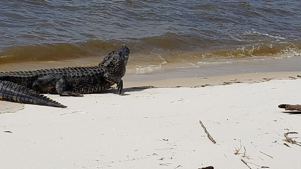Alligator spotted in Pass Chistian. (Photo courtsesy of Pass Christian Police Department)