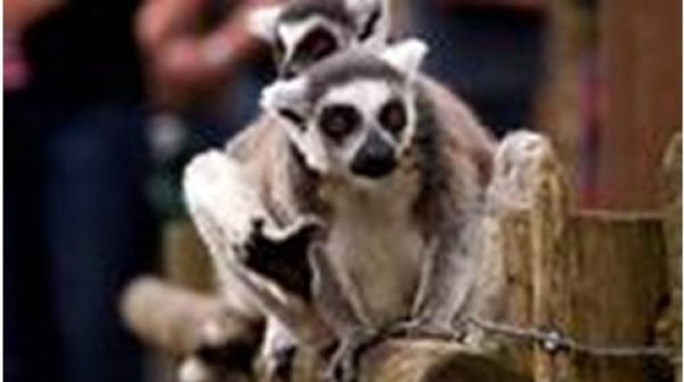Gizmo, the Ringtail Lemur taken during a burglary in Mobile, AL. (Photo source: George Co....