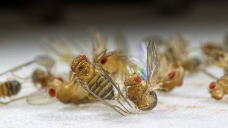 Sleeping fruit flies used in research at the Louisiana Cancer Research Center in New Orleans