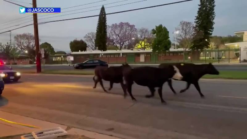 Roughly 40 cows run through a California neighborhood after escaping from a meatpacking plant.
