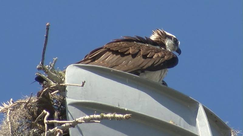 For more than a year, an osprey family has nested in the crow's next of the old USS Biloxi mast...