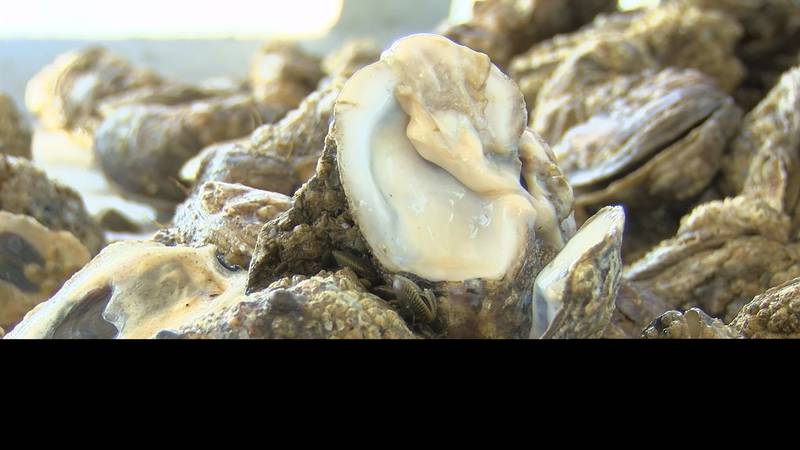 Oyster fishermen are saying 100 percent of what they dredge up is coming up dead, which is not...